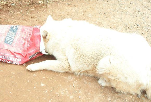white dog with head in food sack